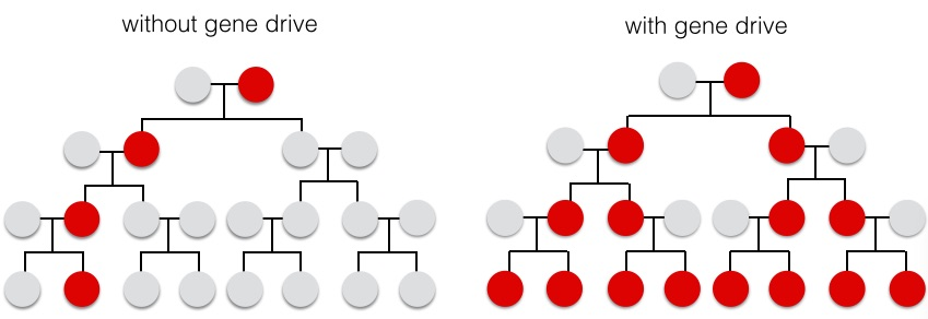 Without a gene drive, the engineered trait (red) will only pass to half of the offspring. With a gene drive, the engineered trait passes on to 100% of the offspring and rapidly spreads through the population.