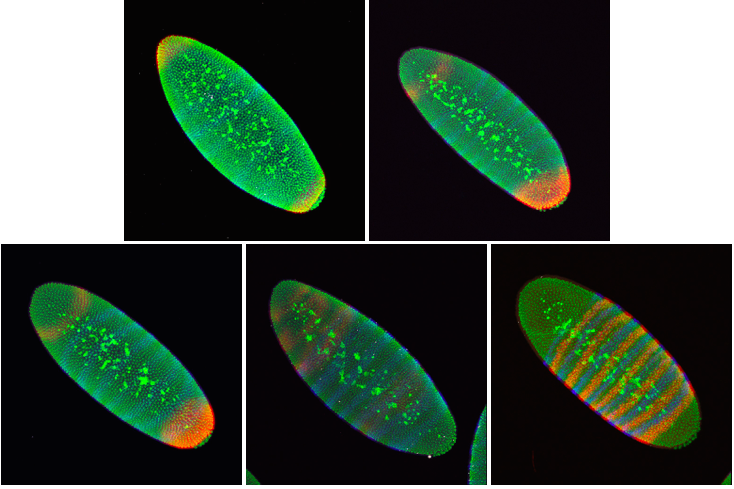 "Embryos from different <em>in situ</em> hybridization experiments"" width=""734″ height=""489″ class=""alignnone size-full wp-image-583″ /></p> </ol> <p><em>In situ</em> hybridization is used in labs all over the world on many different animals and plants to understand how different cell types are made. In flies, it has revolutionized our understanding of how just a handful of master proteins can lay down the body plan of an animal in just a few short hours. Many of these proteins are used throughout the animal kingdom during development to create a complicated adult animal from a single cell. We owe much of our understanding of human development to the fruit fly and their tiny football-shaped embryos.</p>          <div id="