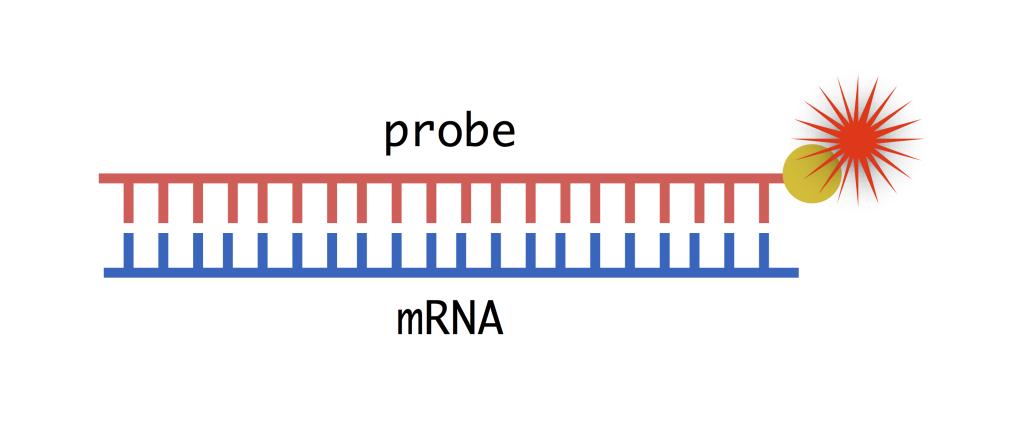schematic of RNA probe binding